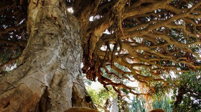 Orto botanico Palermo albero secolare