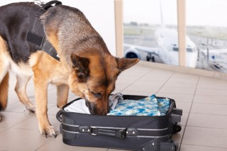 airport-dog