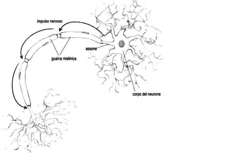 Guardando con attenzione l'immagine, quali considerazioni si possono fare riguardo alla conduzione degli impulsi nervosi?