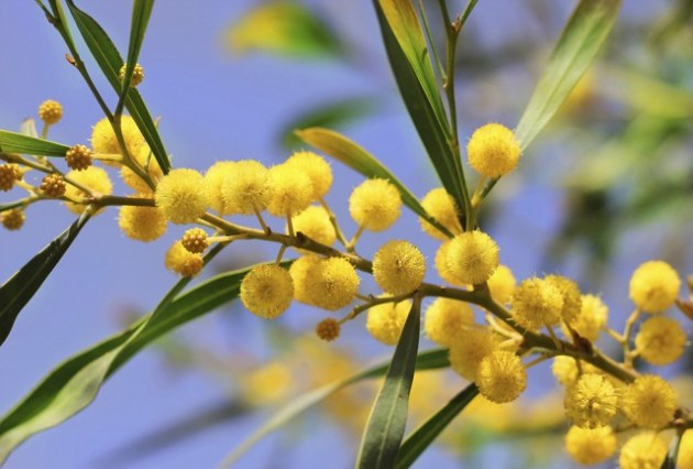 bright yellow flowers of mimosa