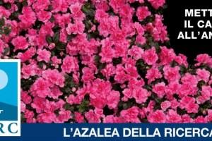 azalea airc