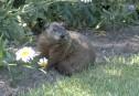 Sus aux marmottes!