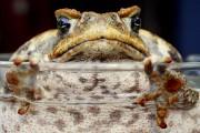 Le crapaud-buffle aété introduit en Australie en 1935.... (PHOTO DAVID GRAY, ARCHIVES REUTERS) - image 1.0