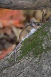 Les souris québécoises réagissent fortement aux changements climatiques,... (PHoto fournie par Virginie Millien) - image 1.1