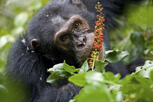 Imoso, mâle dominant de la communauté de Kanyawara,... (Photo fournie par Jean-Michel Krief et tirée du site Internet de Sabrina Krieff)