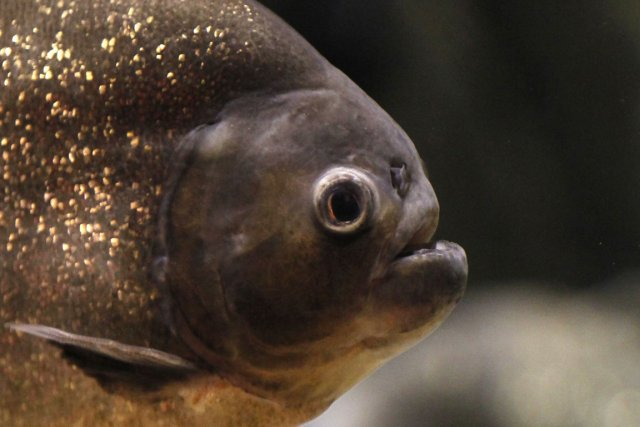 La force de morsure du piranha noir atteint... (Photo: AFP)
