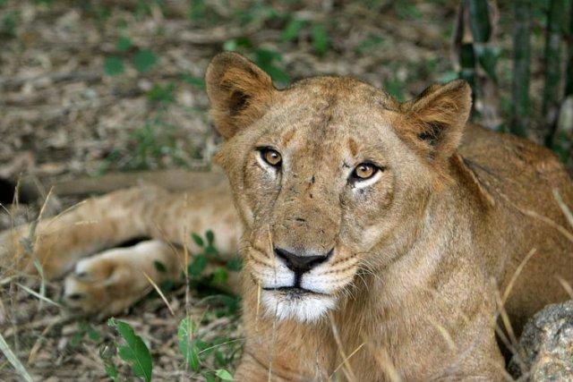 Un lion a tué un employé mercredi dans un parc animalier privé du centre de la... (Photo: AP)