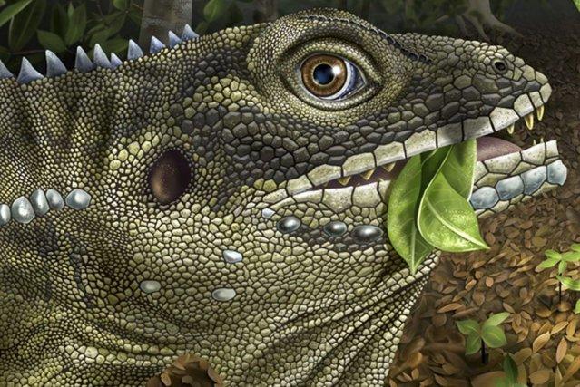 «Barbaturex morrisoni» est l'un des plus gros lézards... (Image AFP)