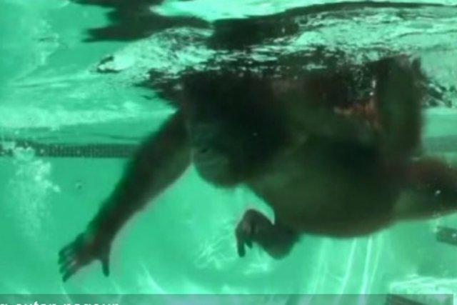 Deux chercheurs ont réalisé des films d'un chimpanzé et d'un orang-outan en... (Photo Renato Bender, Nicole Bender, American Journal of Physical Anthropology)