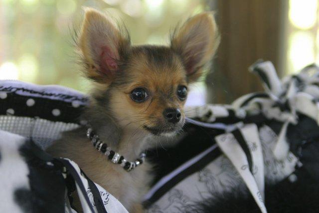 Les petits chiens, souvent surprotégés, peuvent développer de... (Photos.com)