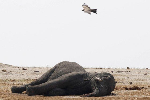 La semaine dernière, l'administration des parcs nationaux avait... (PHOTO PHILIMON BULAWAYO, ARCHIVES REUTERS)