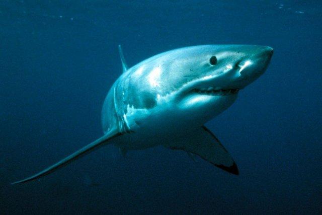 Les requins blancs sont considérés comme une espèce... (Photo: Archives Reuters)