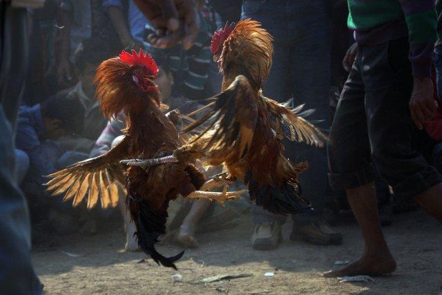 Combat de coq... (Photo d'archives Anupam Nath, AP)