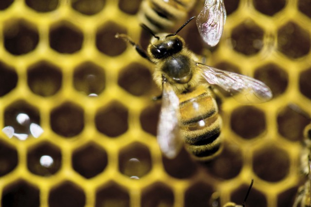 Les populations d'abeilles et d'autres pollinisateurs se sont... (Photo archives Associated Press)