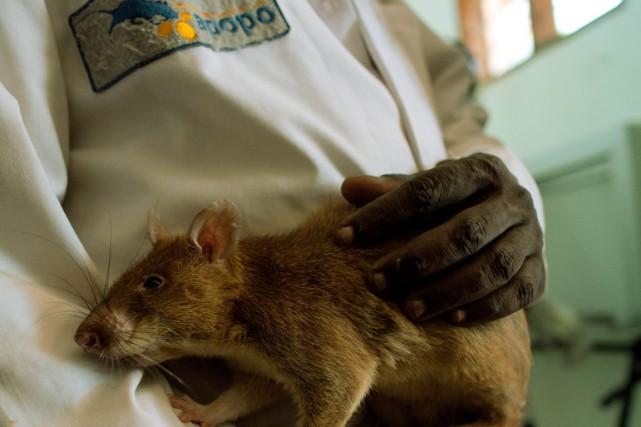Après entraînement, les rats détectent 67% des cas... (PHOTO YASUYOSHI CHIBA, ARCHIVES AFP)