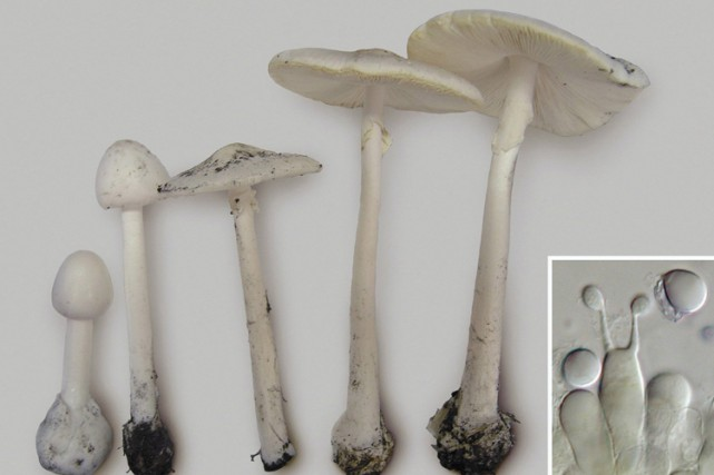 Le genre Amanita regroupe plus de 600 espèces,... (PHOTO PC)