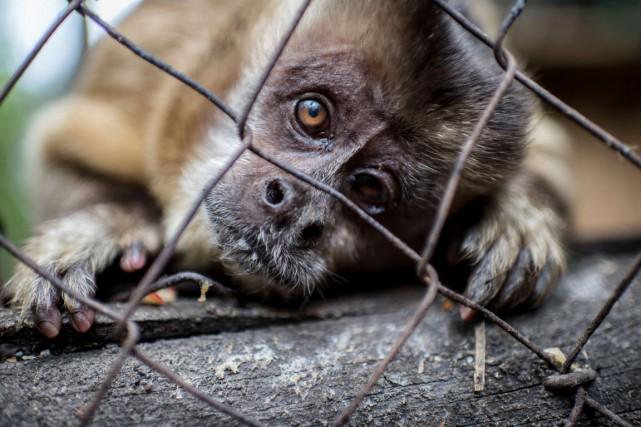 Le centre de désintoxication pour primates de Peñaflora... (PHOTO MARTIN BERNETTI, AFP)