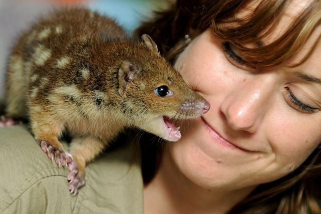 Les dasyures, mammifères également connus sous le nom... (PHOTO GREG WOOD, ARCHIVES AFP)