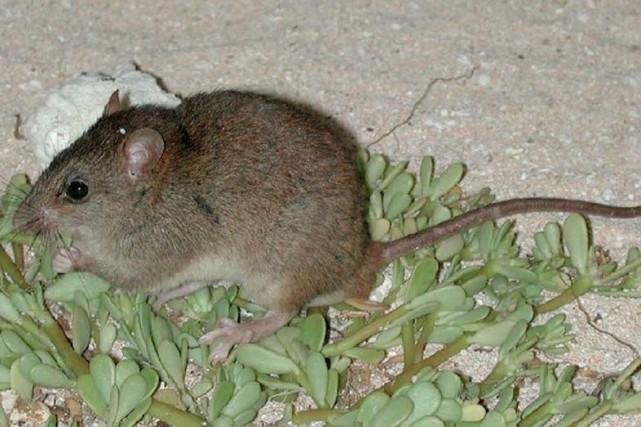 Le melomys rubicola était considéré comme le seul... (PHOTO ARCHIVES GOUVERNEMENT DU Queensland)
