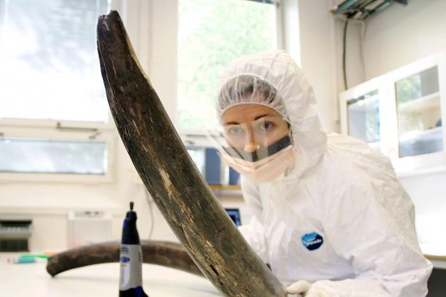 Une scientifique inspecte une défense de mammouth pour... (Photo archives, Love Dalen via AP)
