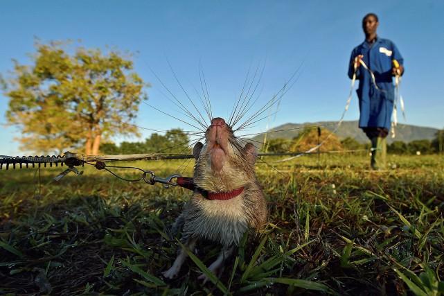 À Morogoro, les rats suivent une formation de...