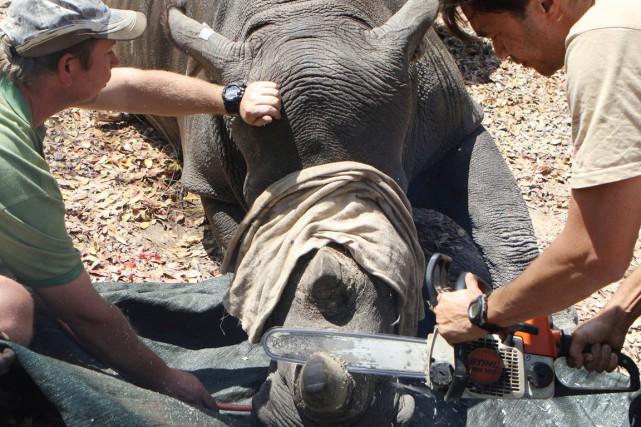 La corne est habituellement coupée avec une scie,... (photo Philimon Bulawayo, REUTERS)