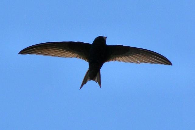Des martinets noirs ciblés par l'étude ne se... (Photo tirée de Wikipédia)