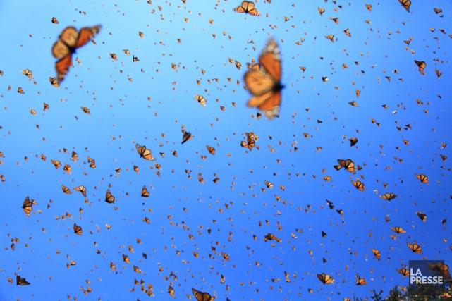 Le papillon monarque est menacé par la déforestation... (ARCHIVES LA PRESSE)
