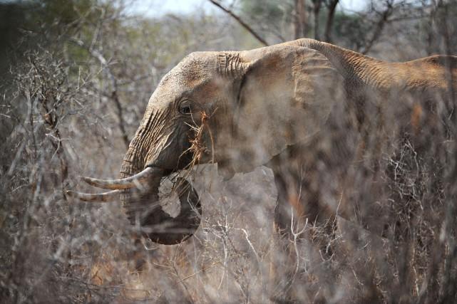Selon l'Union internationale pour la conservation de la... (PHOTO ROBERTO SCHMIDT, ARCHIVES AFP)