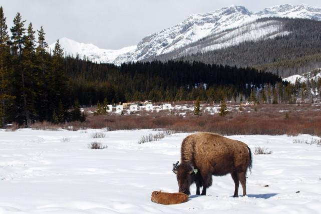 Les bisons reprendront leur rôle historique dans l'écosystème... (PHOTO FOURNIE PAR PARCS CANADA)