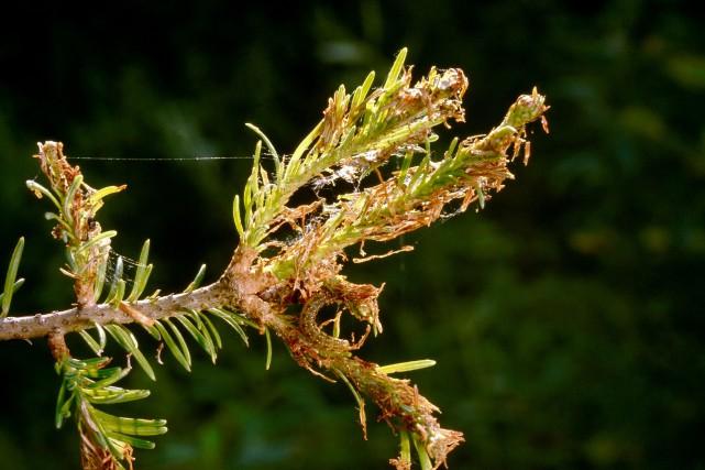 La tordeuse des bourgeons de l'épinettese nourrit des... (Photo Ministère des Forêts, de la Faune et des Parcs)