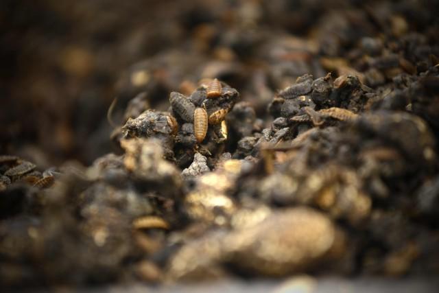 «En moyenne, un kilo d'asticots peut manger deux... (Photo WANG Zhao, Agence France-Presse)