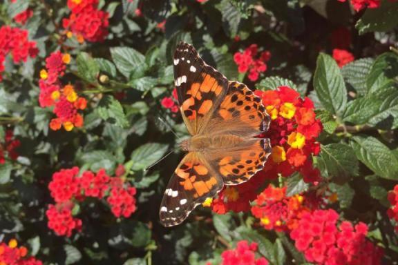 Cette année, les belles dames - des papillons... (Photo fournie par l'Insectarium de Montréal)