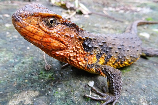 Le crocodile lézard du Vietnam avait été repéré... (Thomas Ziegler, WWF via AFP)