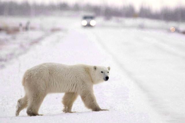 Les ours polaires sont considérés comme une espèce... (PHOTO Jonathan Hayward, ARCHIVES LA PRESSE CANADIENNE)