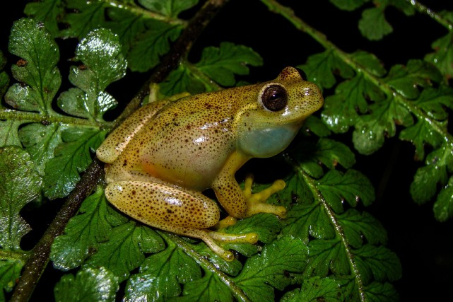 L'Hyloscirtus japreriase caractérise par son dos jaune pâle,... (PHOTO AFP)