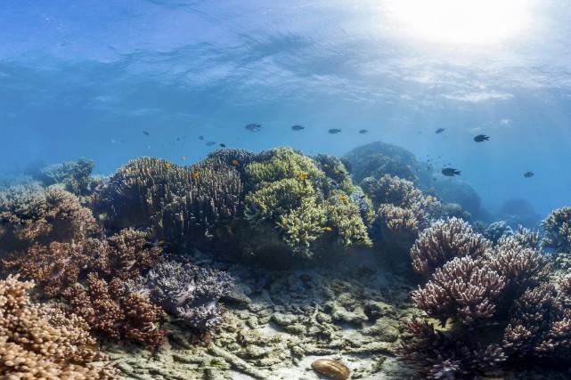 Le corail, qui sert d'habitat à d'autres créatures... (PHOTO ARCHIVES AP/The Ocean Agency)