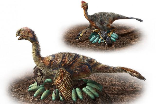 Chez les oviraptorosaures, la disposition des oeufs se... (Masato HATTORI, Université de Nagoya via AFP)