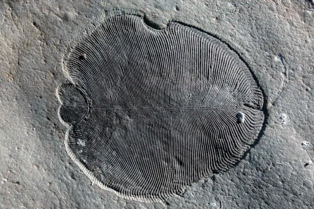 Les espèces du typeDickinsoniaseraient «l'ancêtre de plusieurs formes... (PHOTO AFP)