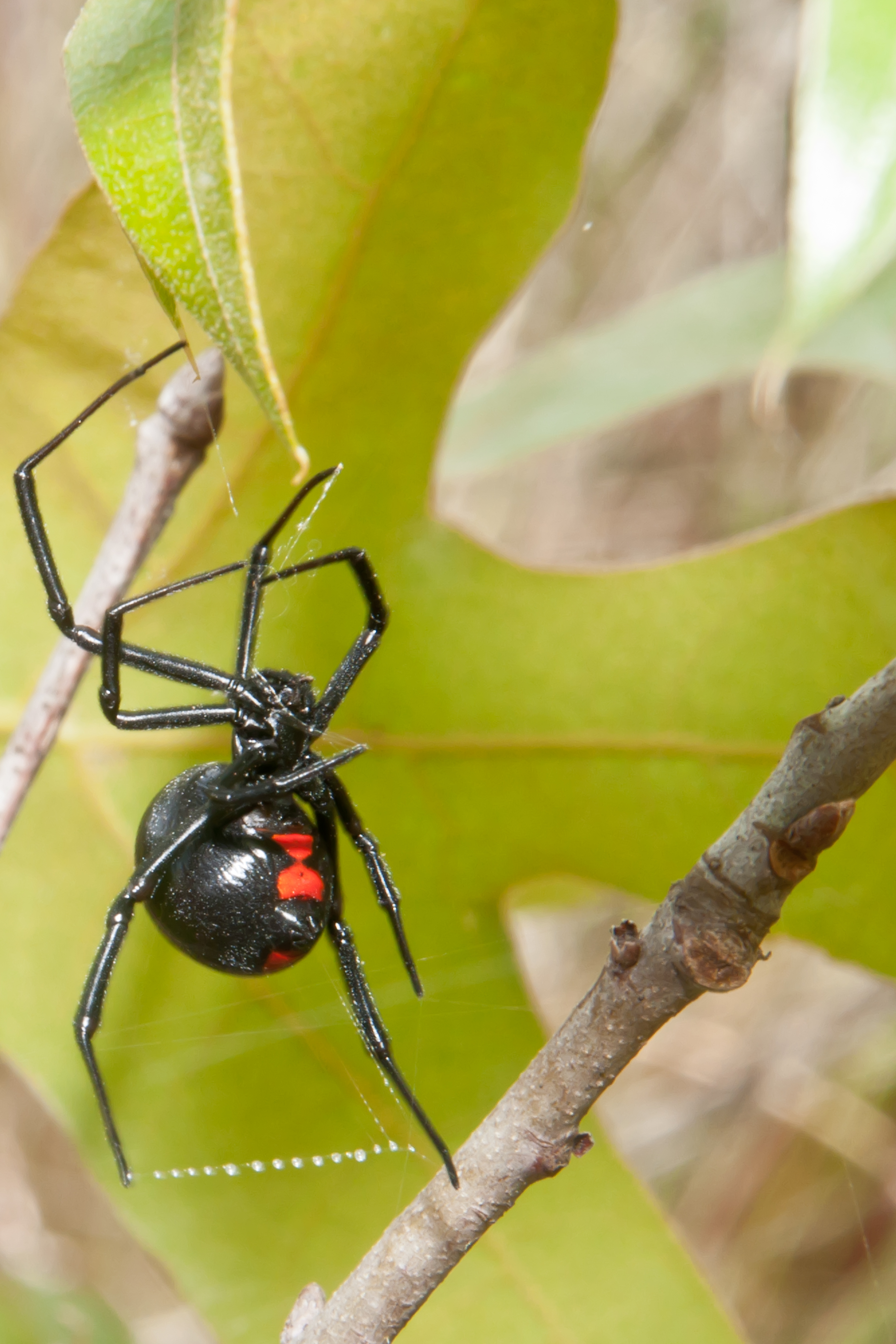 Poisonous Spiders Are Black