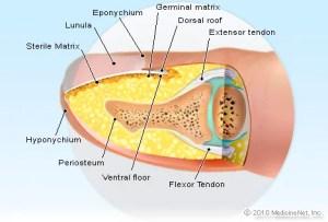 Fingernail Anatomy Picture Image on MedicineNet