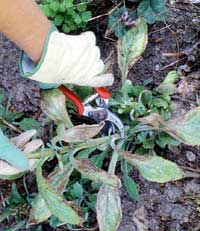 Cutting off diseased foliage