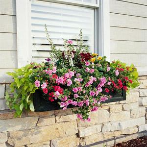 Window Box with Pink Petunias