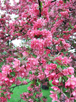 Adams crabapple blooms