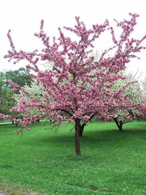 Cardinal crabapple tree in bloom
