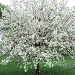 Donald Wyman crabapple tree in bloom