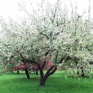 Ellen Gerhart crabapple tree in bloom