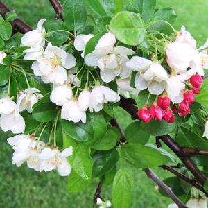 Ellen Gerhart crabapple blooms
