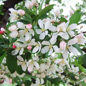 Harvest Gold crabapple blooms