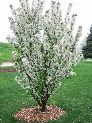 Adirondack crabapple tree in bloom